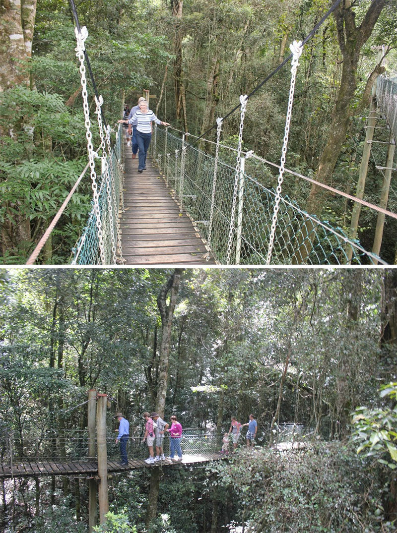 11 Tree Top Walks For Lovers Of Nature // Walk through a canopy of flowering and fruiting trees surrounded by hanging vines at The Treetops Walk at O'Reilly's Rainforest Retreat in Queensland, Australia.